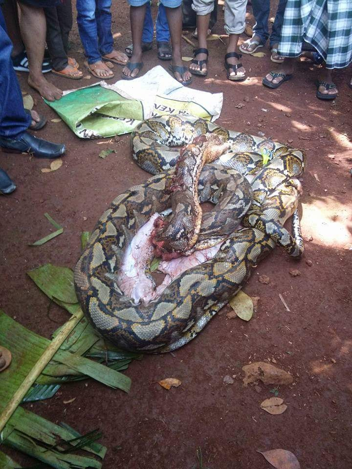 ular phyton 3